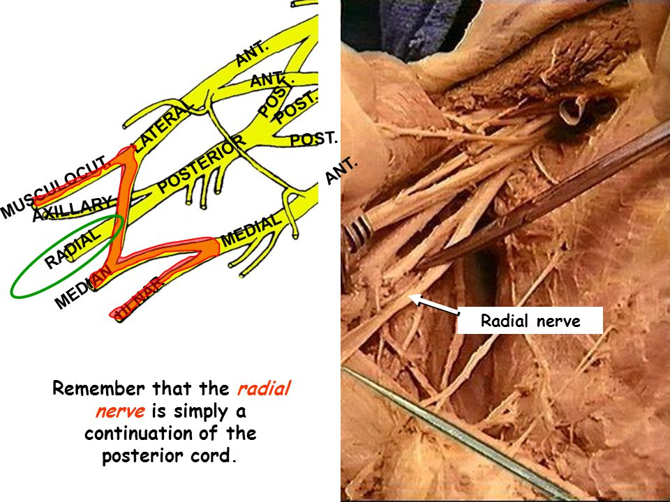 ANT.POST. LATERAL POSTERIOR MEDIAL MUSCULOCUT.