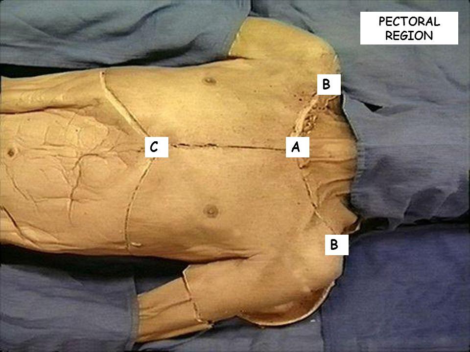 PECTORAL REGION AC B B