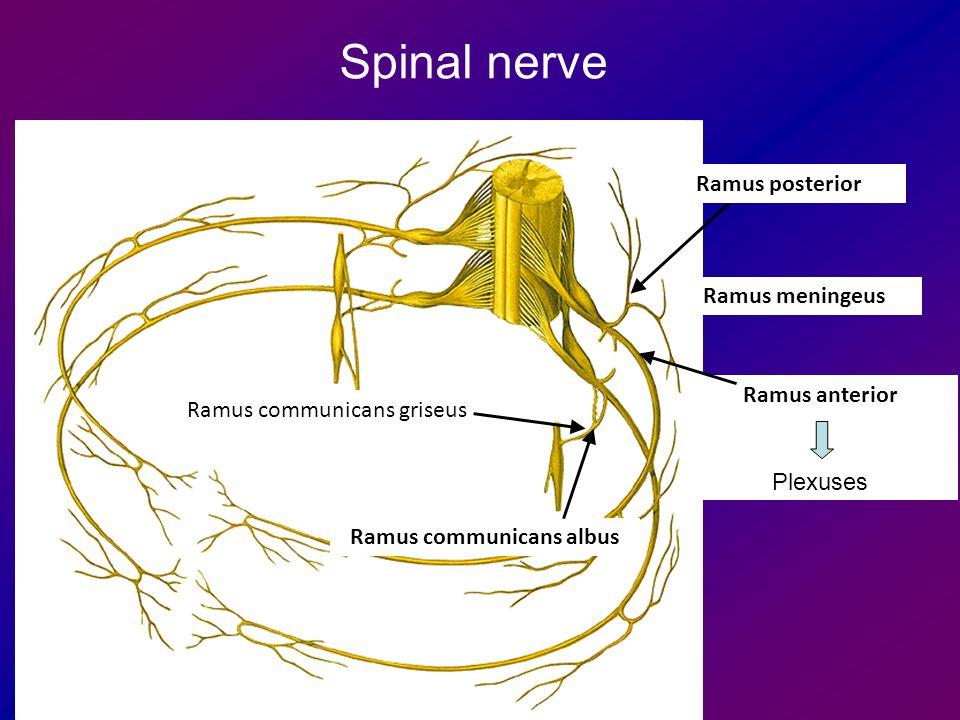 Ramus anterior Plexuses Ramus communicans albus Ramus communicans griseus Ramus posterior Spinal nerve Ramus meningeus