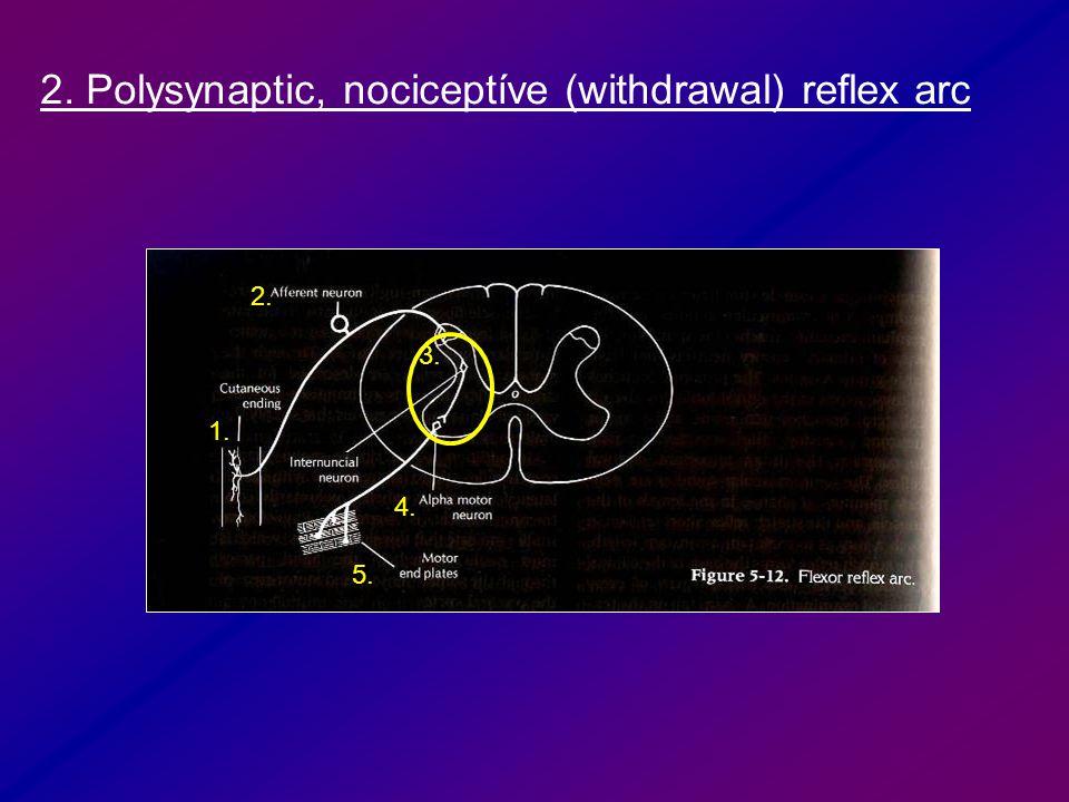 3. 1. 2. 4. 5. 2. Polysynaptic, nociceptíve (withdrawal) reflex arc
