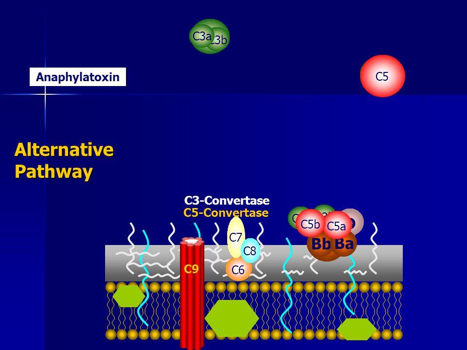 C3 C3b C3a Anaphylatoxin B D BbBa C3 C3a C3b C5-Convertase C3-Convertase C5 C5aC5b Alternative Pathway C6 C7 C8 C9