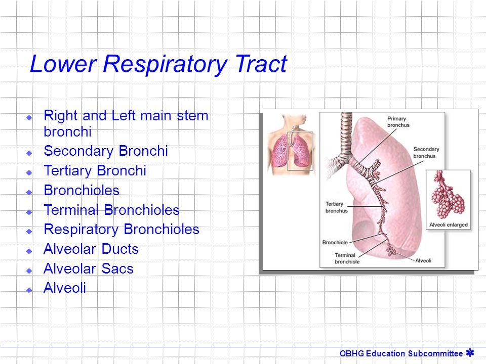 OBHG Education Subcommittee  Right and Left main stem bronchi  Secondary Bronchi  Tertiary Bronchi  Bronchioles  Terminal Bronchioles  Respirato