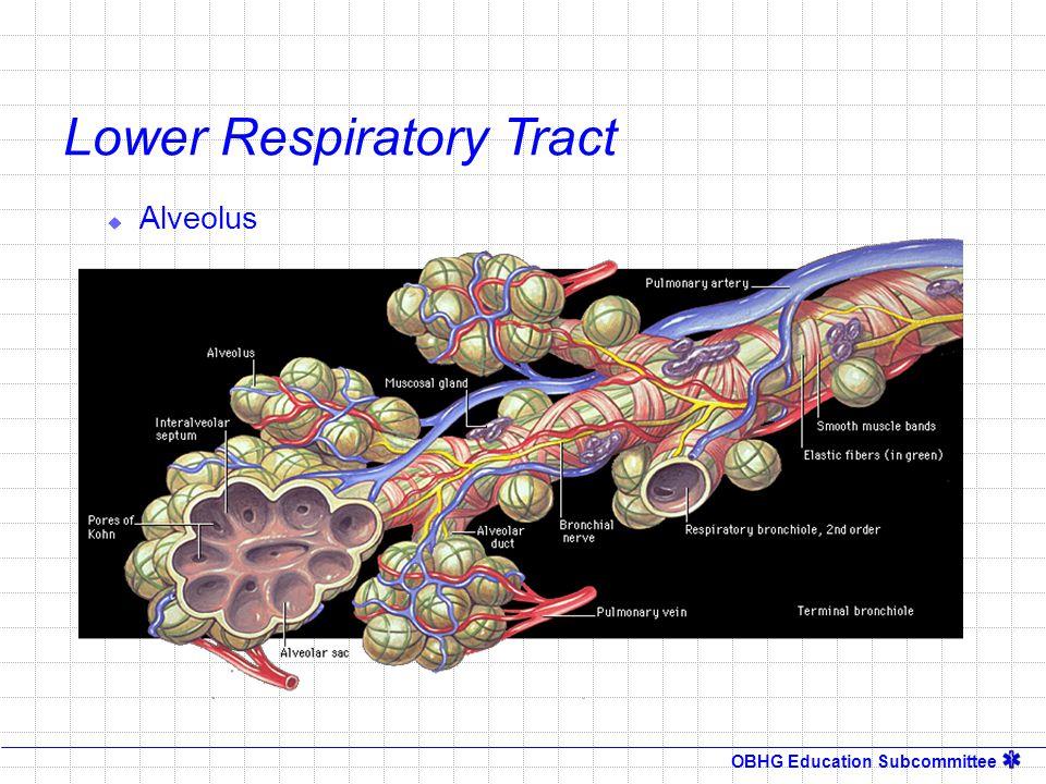 OBHG Education Subcommittee Lower Respiratory Tract  Alveolus