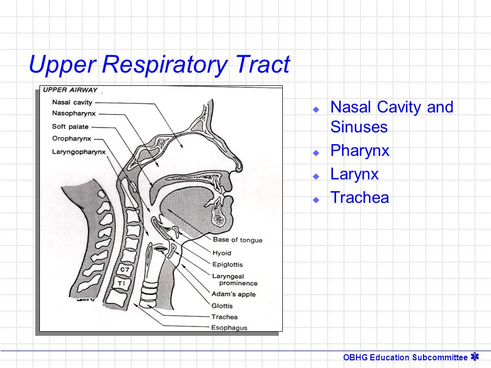 OBHG Education Subcommittee Upper Respiratory Tract Purpose  Warms  Moistens  Filters  Conveys air to the lower Respiratory Tract What about an intubated patient?