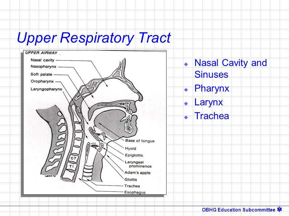 OBHG Education Subcommittee Upper Respiratory Tract  Nasal Cavity and Sinuses  Pharynx  Larynx  Trachea