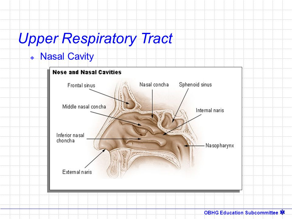 OBHG Education Subcommittee Upper Respiratory Tract  Nasal Sinuses