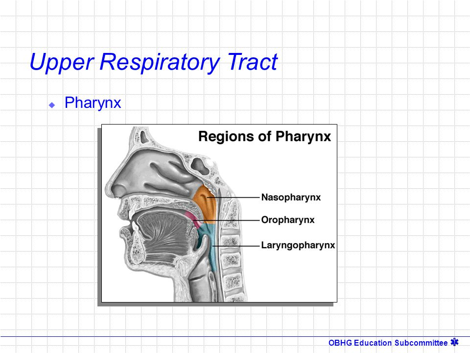 OBHG Education Subcommittee Mechanics of Ventilation Inspiration   Thoracic Cage   3 mmHg Alveolar Pressure Exhalation   Thoracic Cage  Passive Process