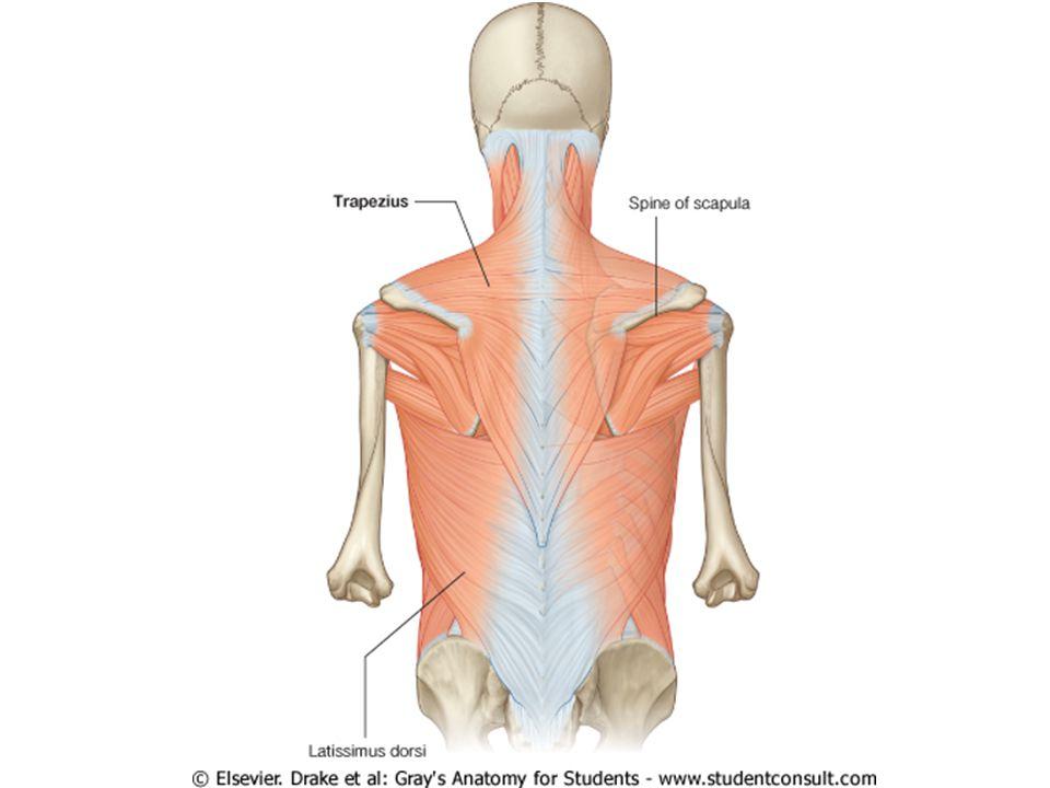 Diagram of circumflex arteries and axillary nerve 1.Axillary artery 2.Anterior circumflex humeral artery 3.Posterior circumflex humeral artery 4.Axillary nerve 5.Articular branch 6.T.S.