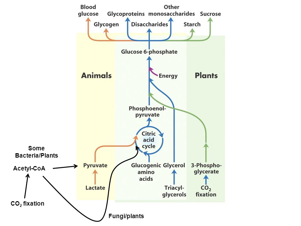 Acetyl-CoA Some Bacteria/Plants CO 2 fixation Fungi/plants