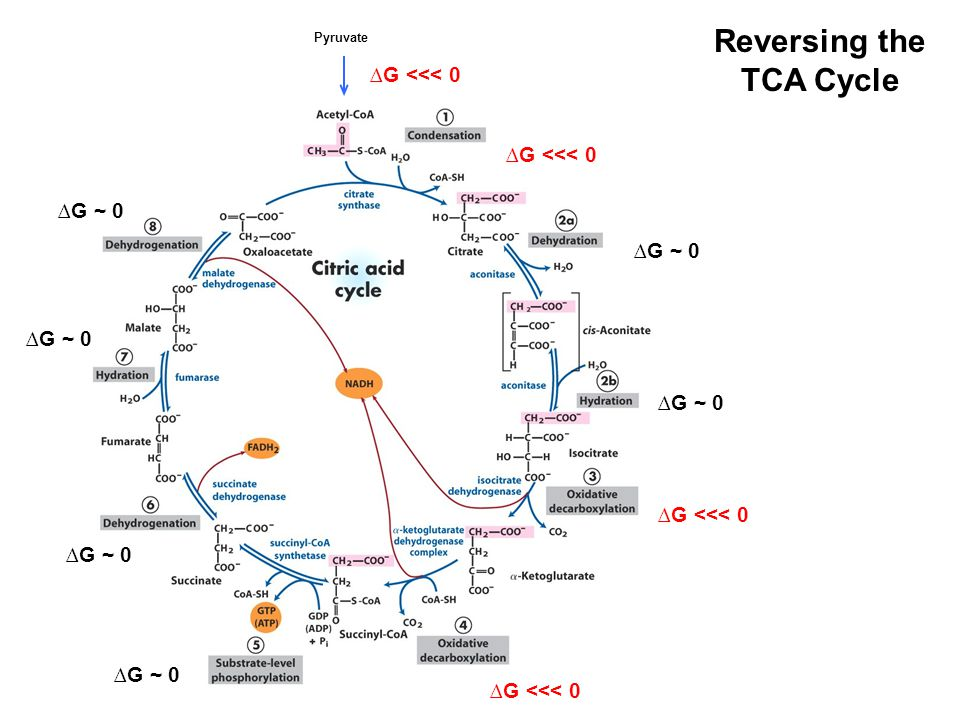 Reversing the TCA Cycle Pyruvate ∆G ~ 0 ∆G <<< 0
