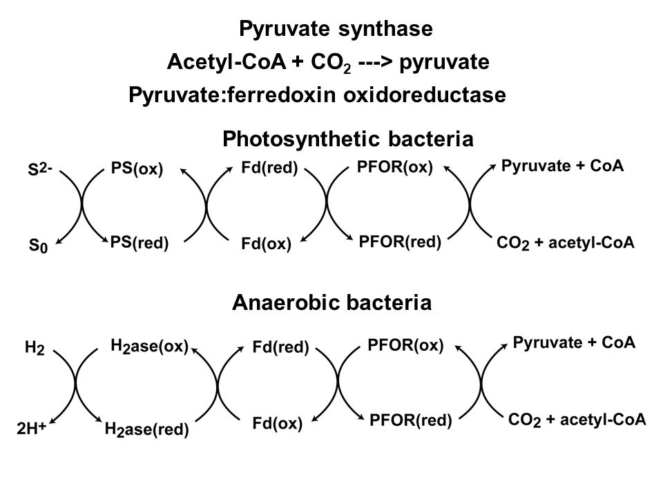 Pyruvate synthase Acetyl-CoA + CO 2 ---> pyruvate Pyruvate:ferredoxin oxidoreductase Photosynthetic bacteria Anaerobic bacteria