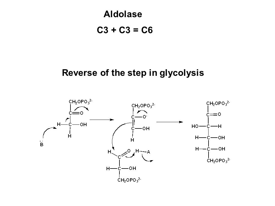 C3 + C3 = C6 Aldolase Reverse of the step in glycolysis