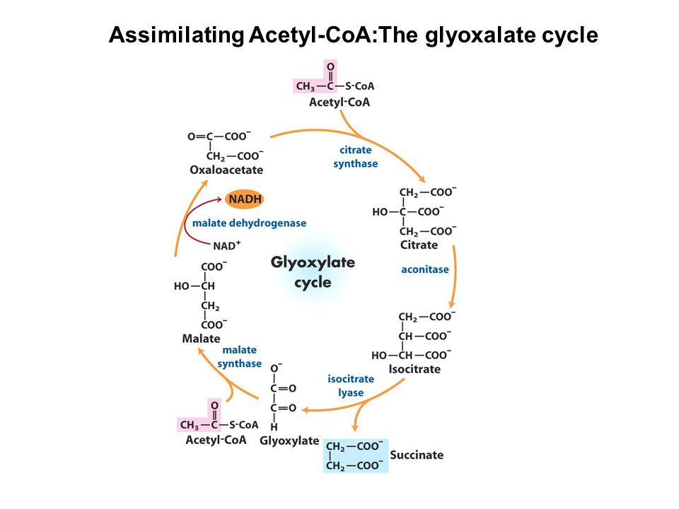 Assimilating Acetyl-CoA:The glyoxalate cycle