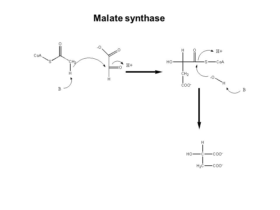 Malate synthase