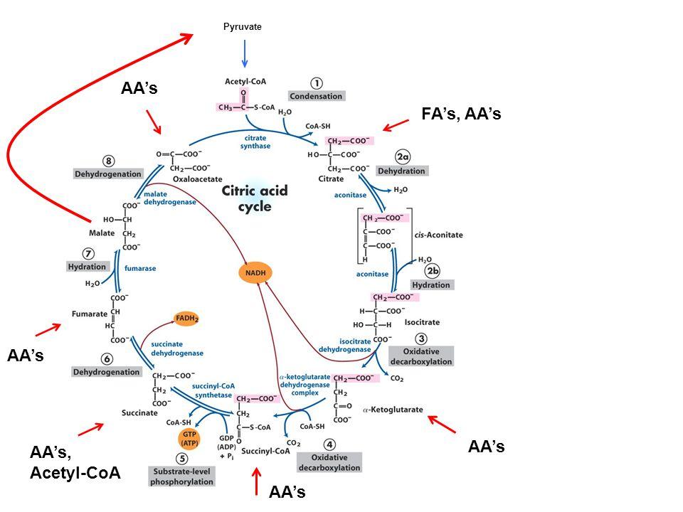 Pyruvate AA's AA's, Acetyl-CoA AA's FA's, AA's