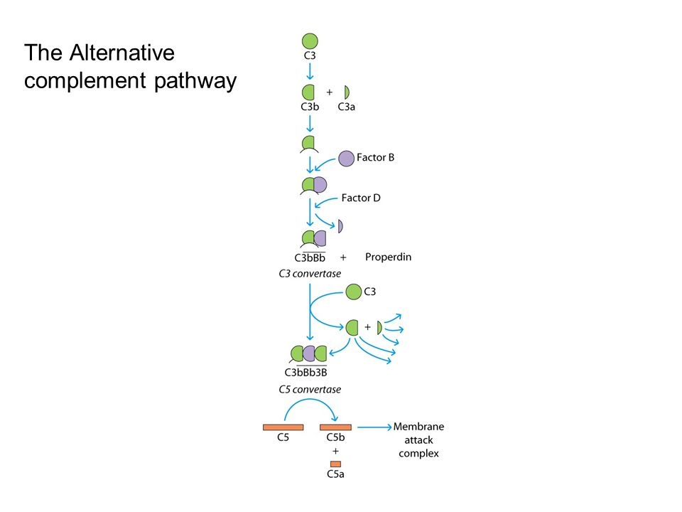 The Alternative complement pathway