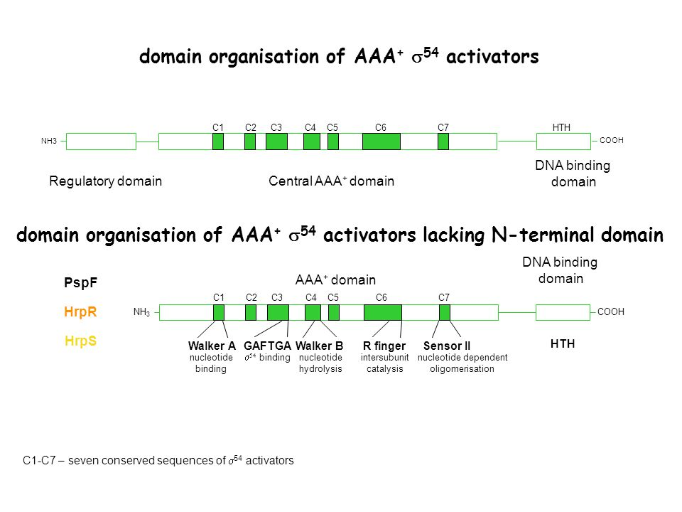 C1 Central AAA + domainRegulatory domain C7C6C5C4C3C2 DNA binding domain HTH PspF HrpS HrpR NH3 COOH domain organisation of AAA +  54 activators domain organisation of AAA +  54 activators lacking N-terminal domain Walker AGAFTGAWalker BR fingerSensor II C1C7C6C5C4C3C2 HTH NH 3 COOH nucleotide binding   binding nucleotide hydrolysis intersubunit catalysis nucleotide dependent oligomerisation AAA + domain DNA binding domain C1-C7 – seven conserved sequences of  54 activators