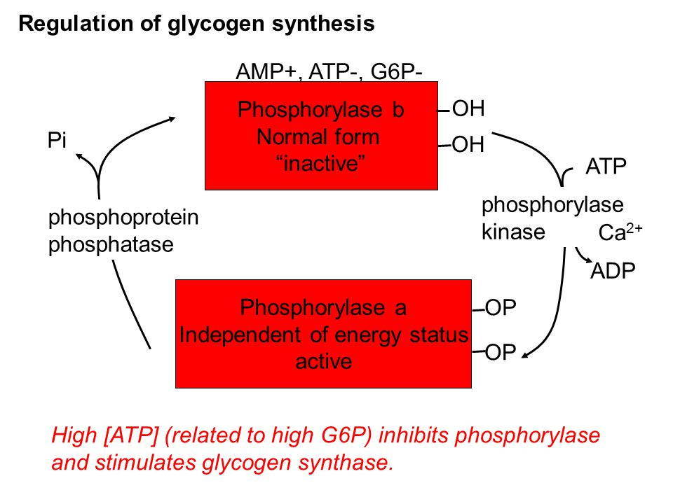 Regulation of glycogen synthesis Phosphorylase b Normal form inactive Phosphorylase a Independent of energy status active OH OP ATP ADP Pi phosphorylase kinase phosphoprotein phosphatase AMP+, ATP-, G6P- Ca 2+ High [ATP] (related to high G6P) inhibits phosphorylase and stimulates glycogen synthase.