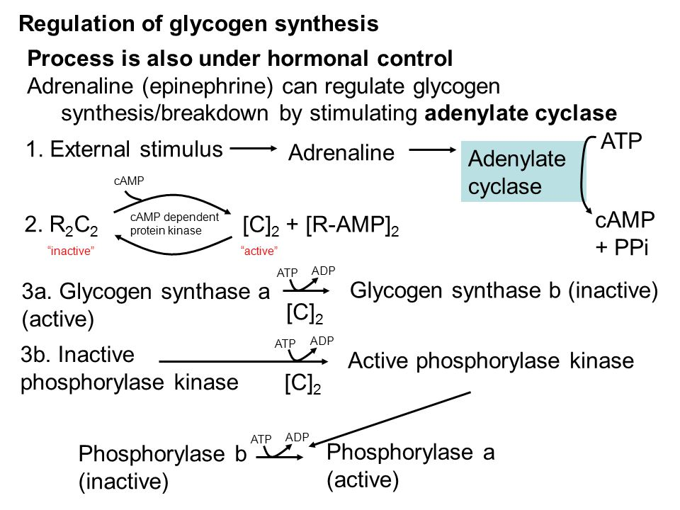 Regulation of glycogen synthesis Process is also under hormonal control Adrenaline (epinephrine) can regulate glycogen synthesis/breakdown by stimulating adenylate cyclase 1.