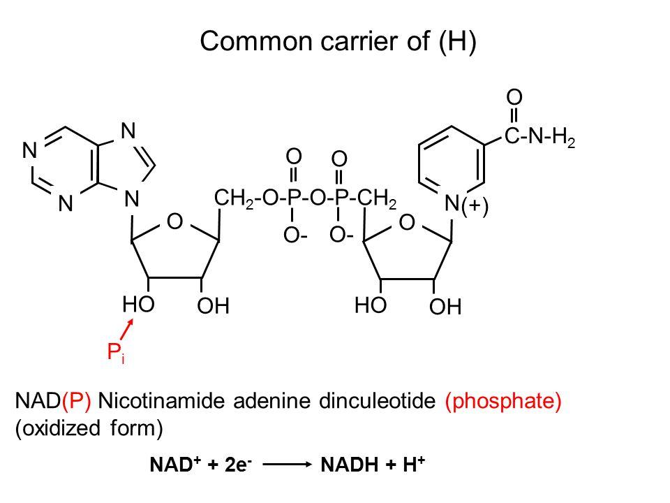 Common carrier of (H) NAD(P) Nicotinamide adenine dinculeotide (phosphate) (oxidized form) O N N N N O OH HO O- O O O OH HO CH 2 -O-P-O-P-CH 2 N C-N-H 2 (+) PiPi NAD + + 2e - NADH + H +