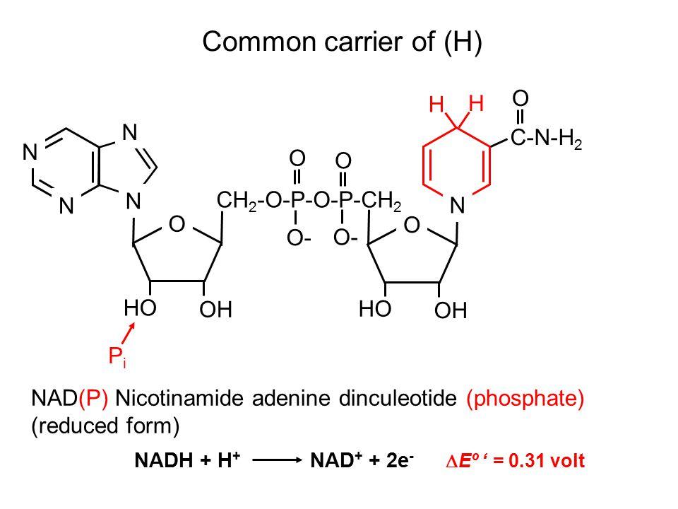 Common carrier of (H) NAD(P) Nicotinamide adenine dinculeotide (phosphate) (reduced form) O N N N N O OH HO O- O O O OH HO CH 2 -O-P-O-P-CH 2 N C-N-H 2 PiPi H H NADH + H + NAD + + 2e -  Eº ' = 0.31 volt