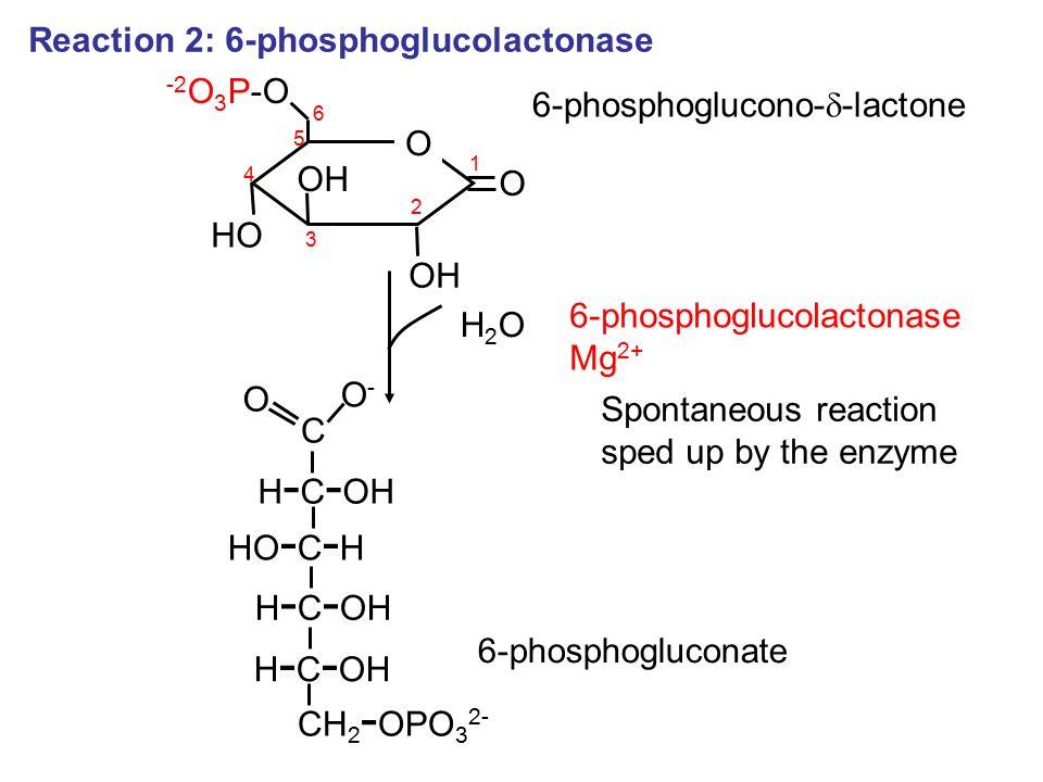 Reaction 2: 6-phosphoglucolactonase O 1 O -2 O 3 P-O OH HO OH 2 3 4 5 6 6-phosphoglucono-  -lactone 6-phosphoglucolactonase Mg 2+ H2OH2O C H - C - OH HO - C - H H - C - OH CH 2 - OPO 3 2- H - C - OH O O-O- 6-phosphogluconate Spontaneous reaction sped up by the enzyme
