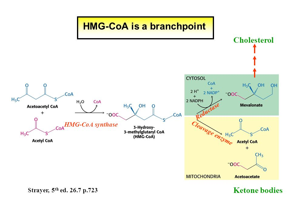 HMG-CoA is a branchpoint Cleavage enzyme Reductase HMG-CoA synthase Ketone bodies Cholesterol Strayer, 5 th ed.