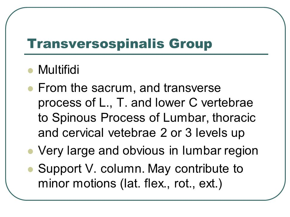 Transversospinalis Group Multifidi From the sacrum, and transverse process of L., T. and lower C vertebrae to Spinous Process of Lumbar, thoracic and