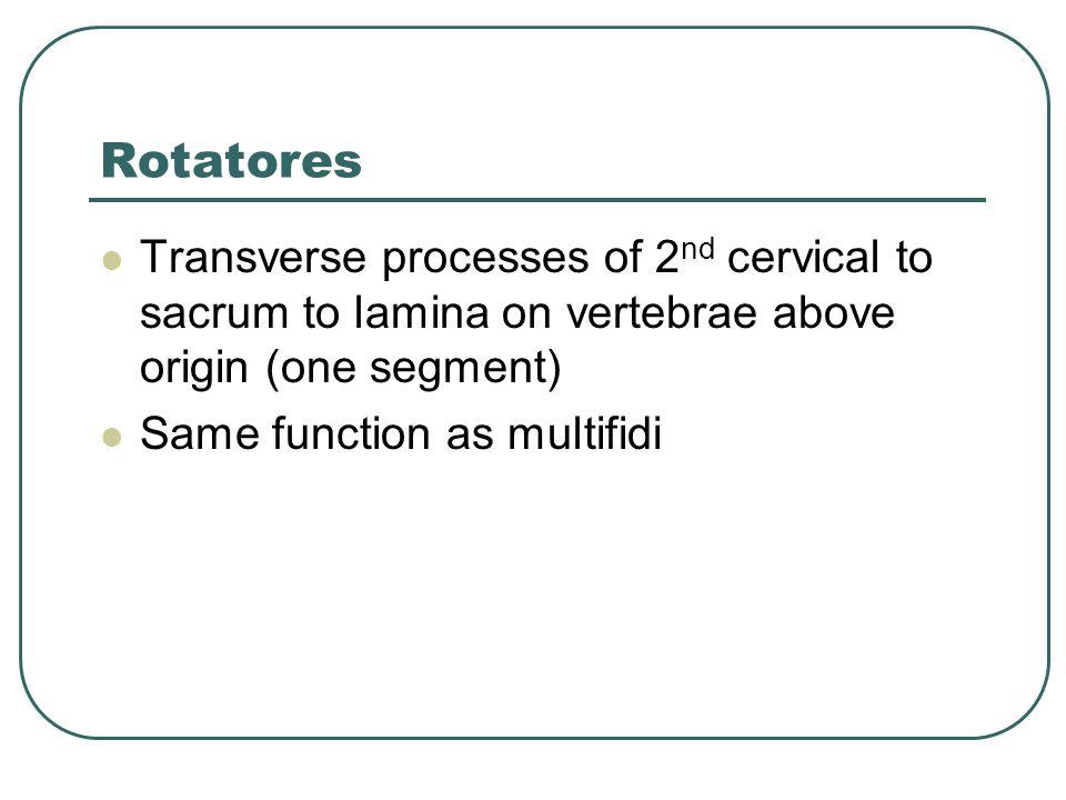 Rotatores Transverse processes of 2 nd cervical to sacrum to lamina on vertebrae above origin (one segment) Same function as multifidi