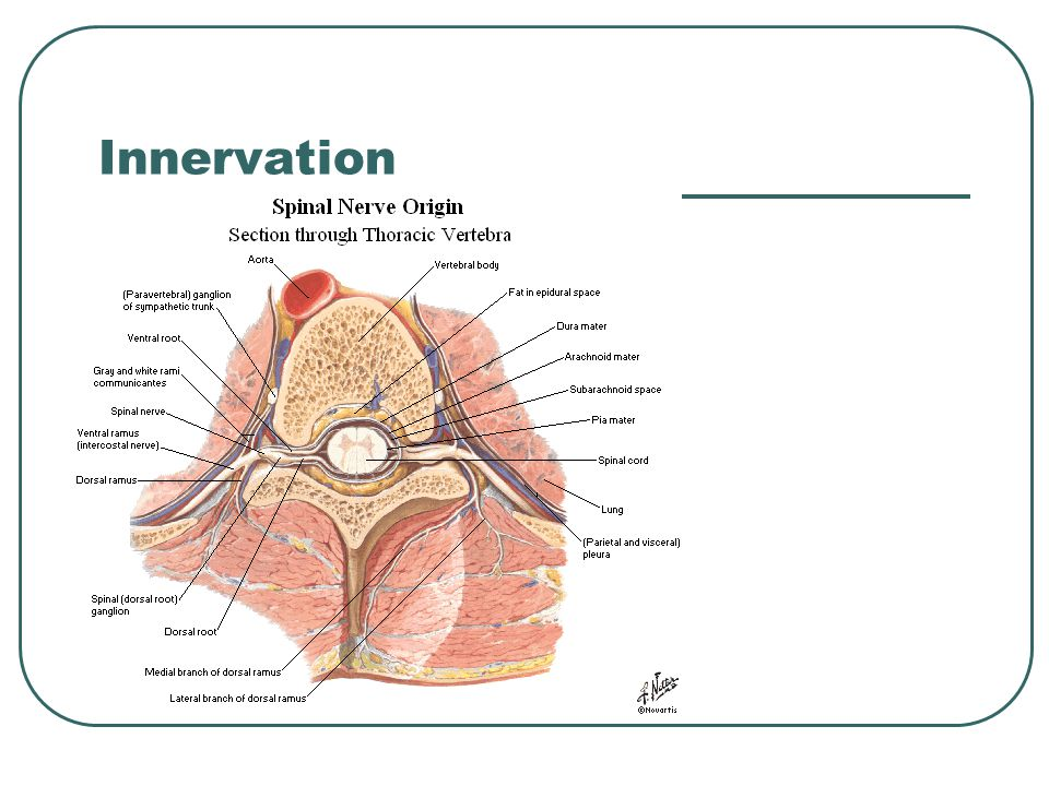 Interspinous and Intertransversus Run between spinous processes or transverse processes Blend with ligaments of same name Perform same function (Stability)