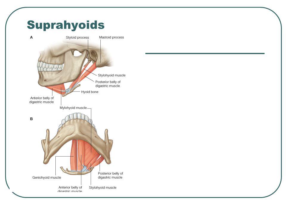 Suprahyoids