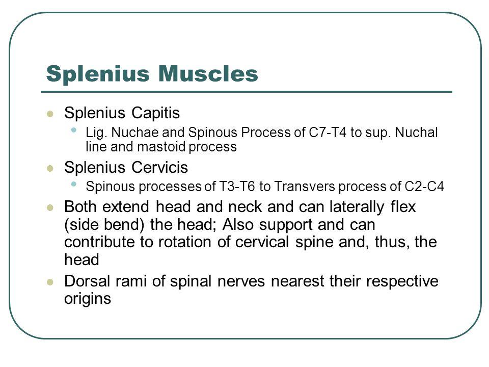 Anterior Sub Occipital Muscles