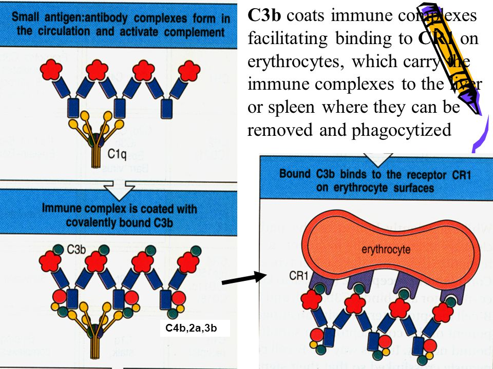 C3b coats immune complexes facilitating binding to CR1 on erythrocytes, which carry the immune complexes to the liver or spleen where they can be remo