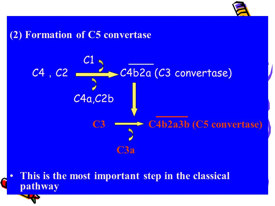 (2) Formation of C5 convertase C1 C4 , C2 C4b2a (C3 convertase) C4a,C2b C3 C4b2a3b (C5 convertase) C3a This is the most important step in the classica