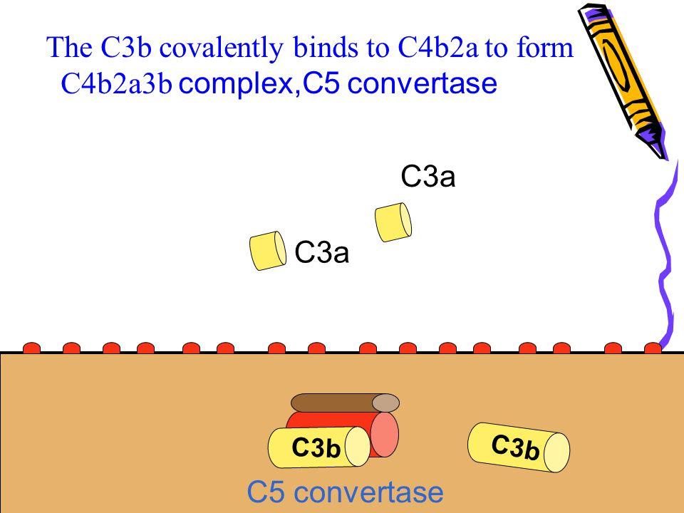 C3b The C3b covalently binds to C4b2a to form C4b2a3b complex,C5 convertase C3b C3a C5 convertase