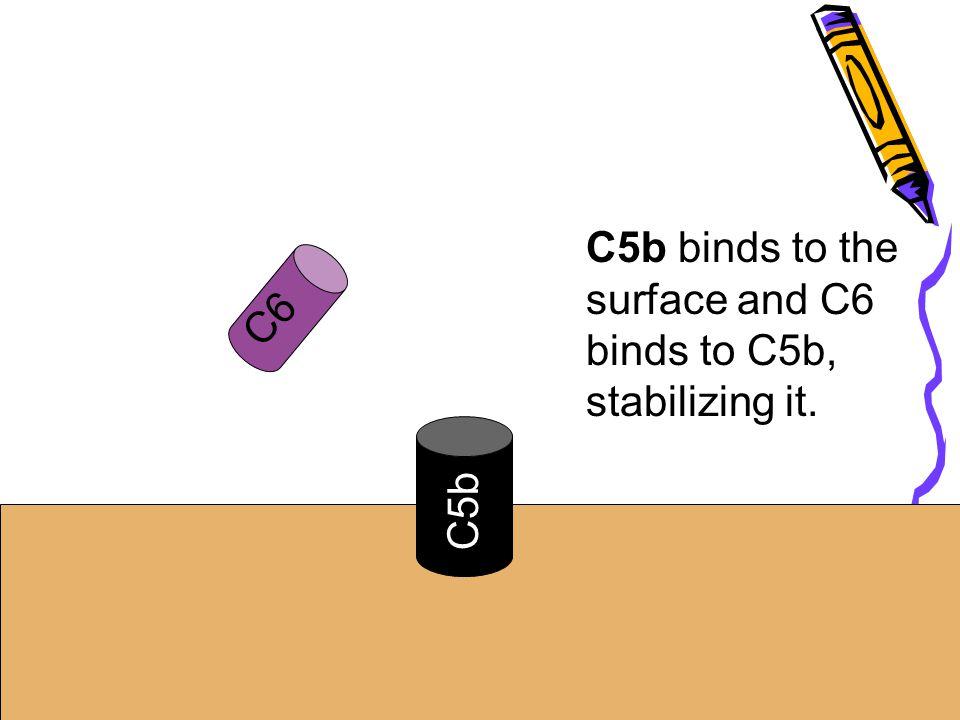 C5b C5b binds to the surface and C6 binds to C5b, stabilizing it. C6