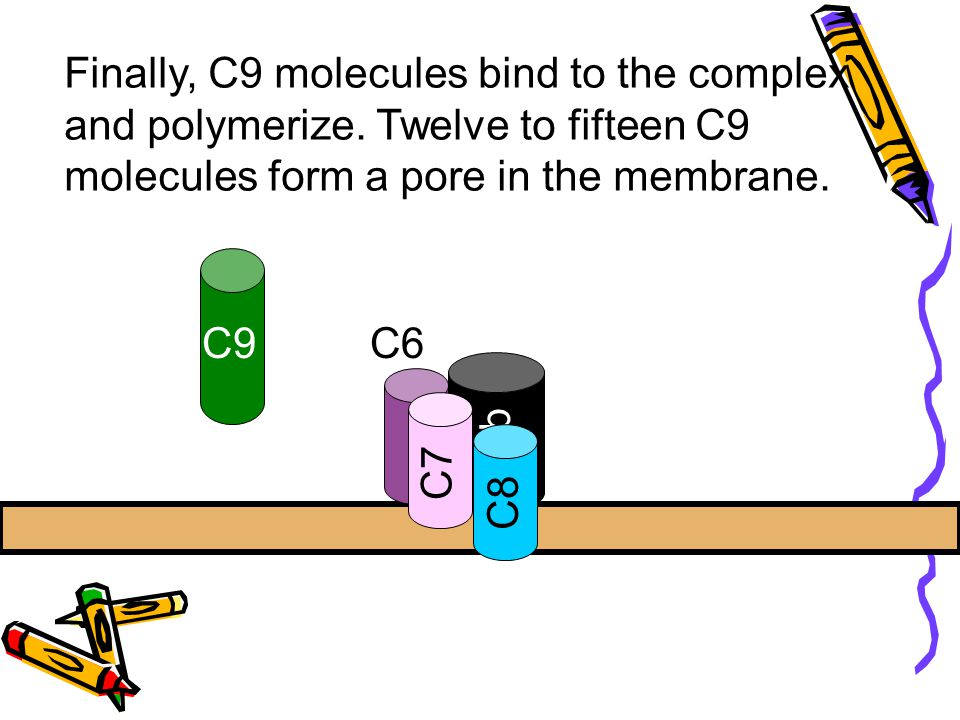 C5b C6 C7 Finally, C9 molecules bind to the complex and polymerize. Twelve to fifteen C9 molecules form a pore in the membrane. C8 C9