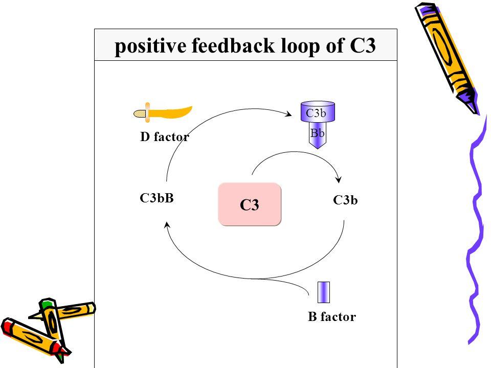 C3b C3bB C3 positive feedback loop of C3 D factor C3b Bb B factor