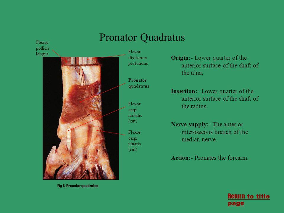 Pronator Quadratus Origin:- Lower quarter of the anterior surface of the shaft of the ulna. Insertion:- Lower quarter of the anterior surface of the s