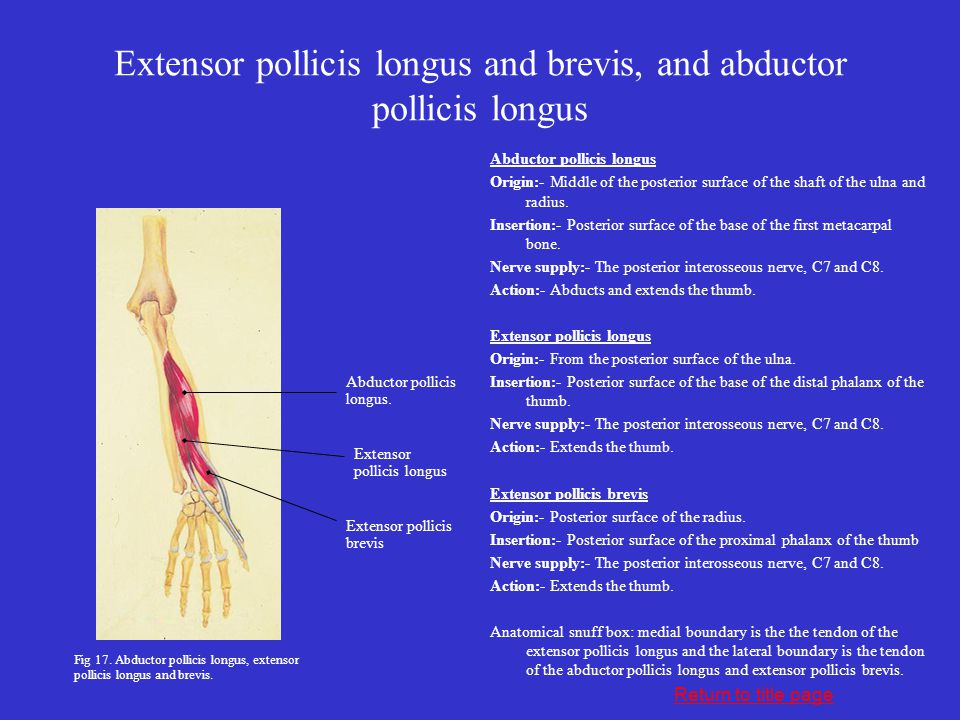 Extensor pollicis longus and brevis, and abductor pollicis longus Abductor pollicis longus Origin:- Middle of the posterior surface of the shaft of th