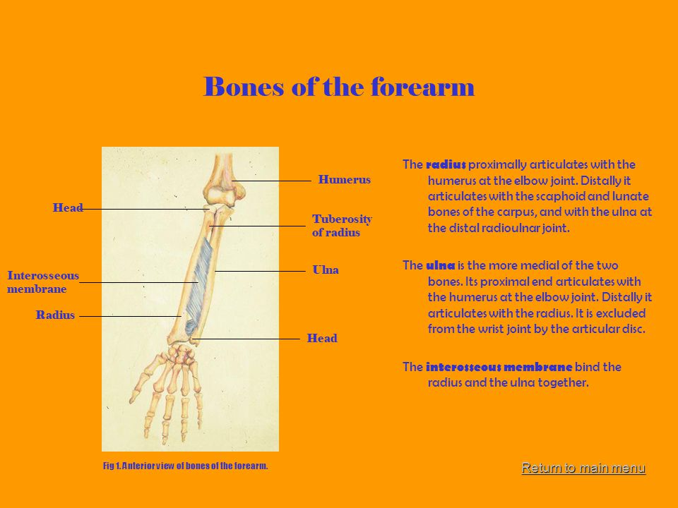 Bones of the forearm The radius proximally articulates with the humerus at the elbow joint. Distally it articulates with the scaphoid and lunate bones