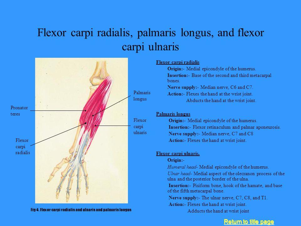 Flexor carpi radialis, palmaris longus, and flexor carpi ulnaris Flexor carpi radialis Origin:- Medial epicondyle of the humerus. Insertion:- Base of