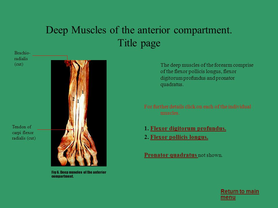 Deep Muscles of the anterior compartment. Title page The deep muscles of the forearm comprise of the flexor pollicis longus, flexor digitorum profundu