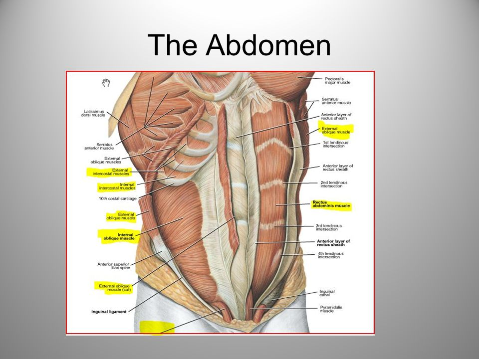 Abdominal Muscles Internal oblique O: Lateral 2/3 of inguinal ligament; the middle lip of iliac crest; the thoracolumbar fascia I: Inferior border of lower 3-4 ribs; the linea alba; aponeurosis fuses with that of the external oblique to help form the rectus sheath A: Compresses abdominal viscera; both muscles: flex the trunk forward; each muscle: bends the trunk to that side but rotates the front of the abdomen toward the same side N: Lower five thoracic nerves and the first lumbar nerve (T8-L1) Transverse abdominis O: Lateral third of inguinal ligament and inner lip of iliac crest; thoracolumbar fascia; inner surface of lower six ribs I: Ends in aponeurosis; upper fibers: to line alba, help form posterior layer of rectus sheath; lower fibers: attach to pubis to form conjoined tendon A: Tenses abdominal wall; compresses abdominal contents N: Lower six thoracic and first lumbar nerves (T7-L1)