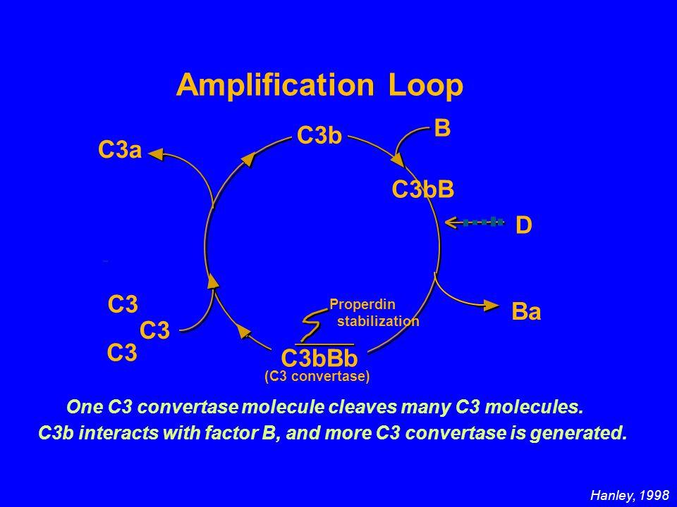 Amplification Loop C3b B C3bB D Ba C3bBb C3 C3a (C3 convertase) C3 One C3 convertase molecule cleaves many C3 molecules.