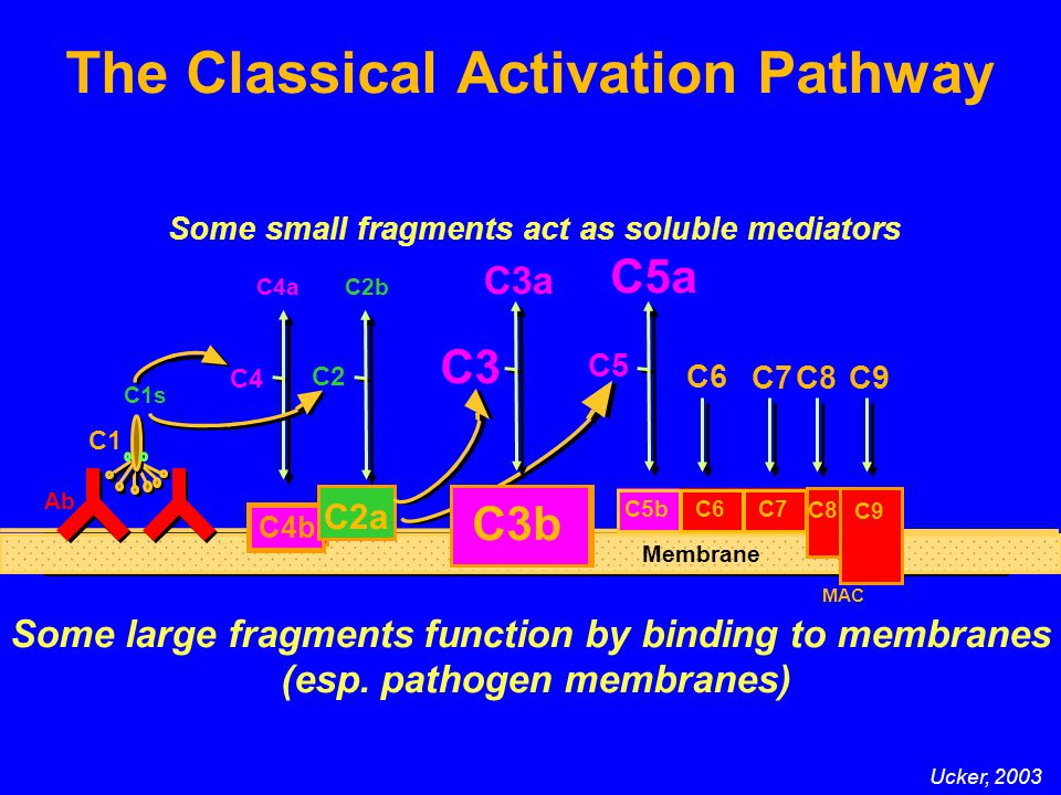 The Classical Activation Pathway Some large fragments function by binding to membranes (esp.