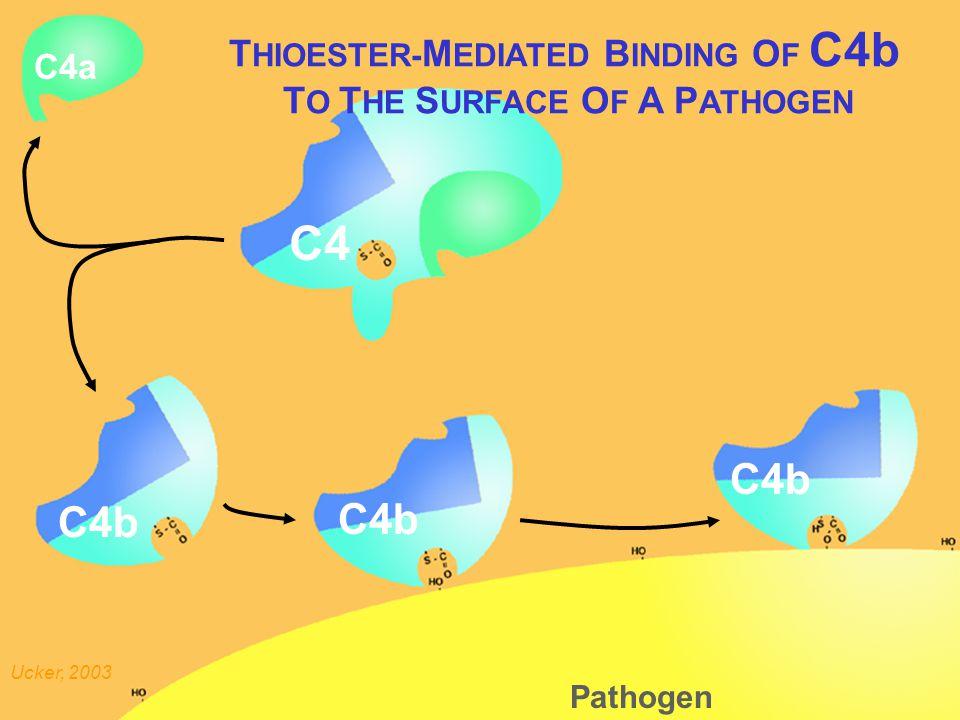 Thioester mediated binding of C4b Pathogen C4 C4a C4b T HIOESTER- M EDIATED B INDING O F C4b T O T HE S URFACE O F A P ATHOGEN Ucker, 2003 C4b
