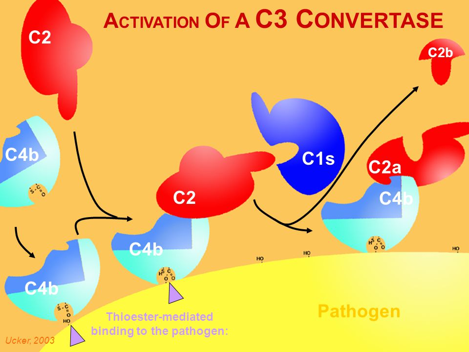 Activati on of a C3 Convert ase A CTIVATION O F A C3 C ONVERTASE C2 C4b Pathogen Thioester-mediated binding to the pathogen: Ucker, 2003 C1s C2a C2b C4b C2 C4b