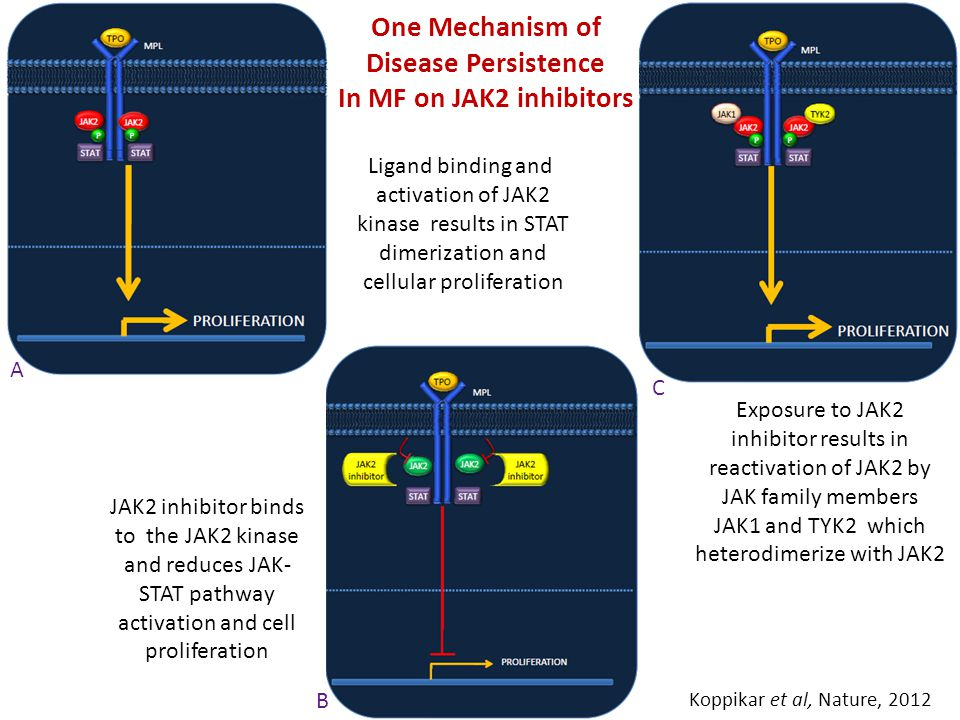 A B C One Mechanism of Disease Persistence In MF on JAK2 inhibitors JAK2 inhibitor binds to the JAK2 kinase and reduces JAK- STAT pathway activation and cell proliferation Exposure to JAK2 inhibitor results in reactivation of JAK2 by JAK family members JAK1 and TYK2 which heterodimerize with JAK2 Koppikar et al, Nature, 2012 Ligand binding and activation of JAK2 kinase results in STAT dimerization and cellular proliferation