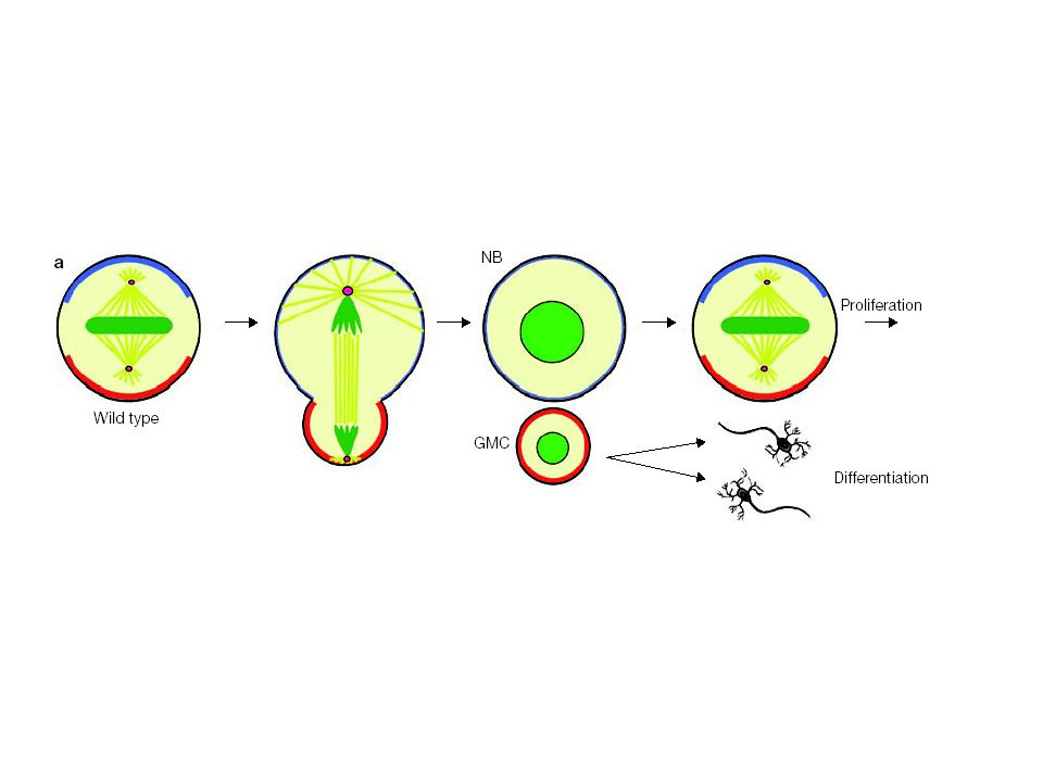 During development groups of inducing cells called organizing centers secrete graded growth factor signals.